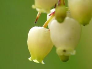 Fleurs d'arbousier