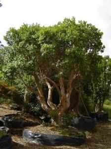 L'arbousier...un arbre miracle!