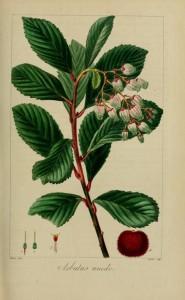 Arbouse bio cultivée en Asie depuis des milliers d'années