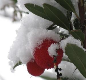 L'Arbousier, des fraises en hiver